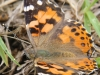 kamehameha-butterfly