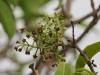 olopua-flowers