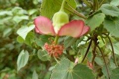 fleming-arboretum-bob-howdy-native-plants-flowers-036